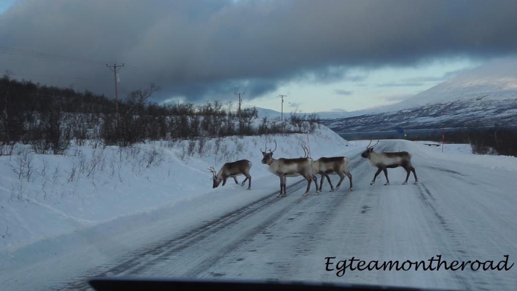 Renos cruzando la carretera en Noruega.