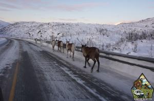 renos en la carretera